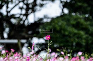 コスモスの写真・画像素材[785695]