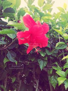 赤い花の写真・画像素材[786990]