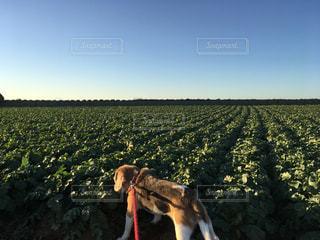 畑と犬の写真・画像素材[788076]