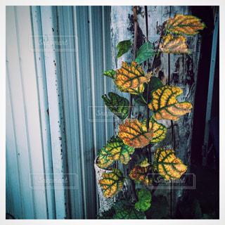 黄色の葉っぱとサビ - No.823795