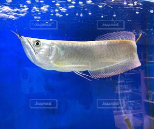 熱帯魚 アロワナの写真・画像素材[988948]