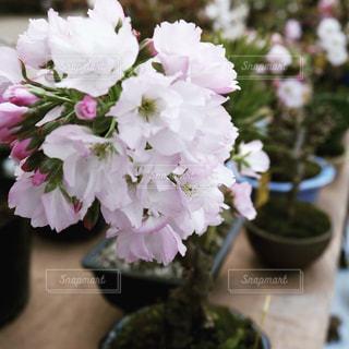 桜の盆栽の写真・画像素材[788149]