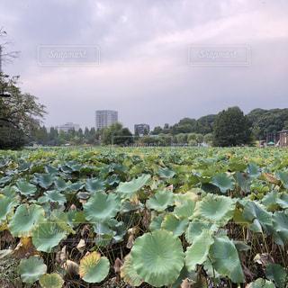 秋の不忍池の写真・画像素材[802247]