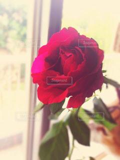 窓際の薔薇の写真・画像素材[793687]