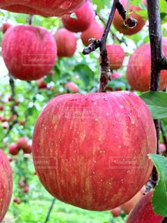 りんごの収穫の写真・画像素材[843039]