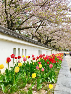 桜とチューリップの写真・画像素材[1150531]