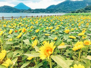 背景の山と黄色い花の写真・画像素材[1251095]
