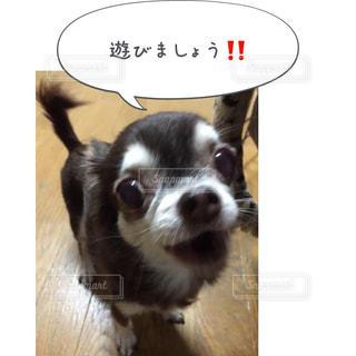 カメラを見て小さな白い犬 - No.814589