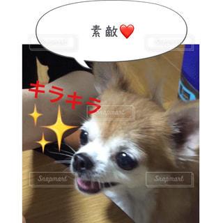 カメラを見て茶色と白犬 - No.814597