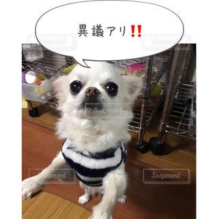 カメラを見て小さな白い犬 - No.814599