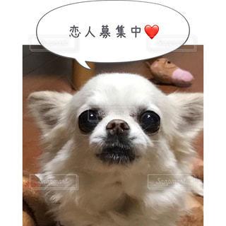 カメラを見て小さな白い犬 - No.814601