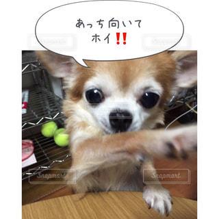テーブルの上に座って小型犬 - No.814606