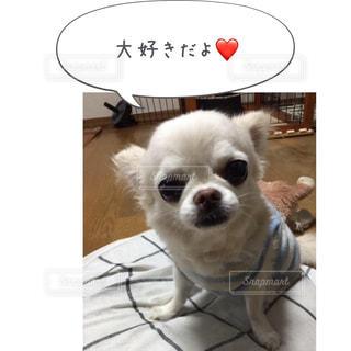カメラを見て小さな白い犬 - No.814614