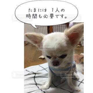 小さな白い犬 - No.814622