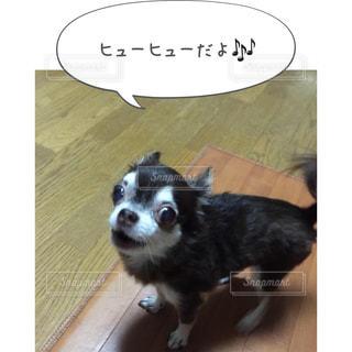 小さな白い犬 - No.814624