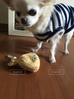 茶色と白の小型犬 - No.1087491