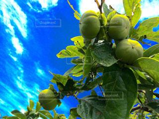 果樹 柿たわわの写真・画像素材[790556]