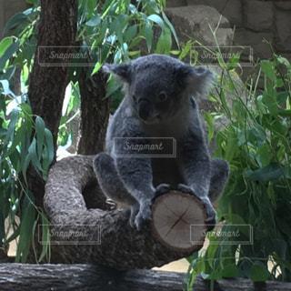 庭園のコアラの写真・画像素材[789704]