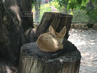 丸太の上で寝ているフェネック3枚目の写真・画像素材[853124]