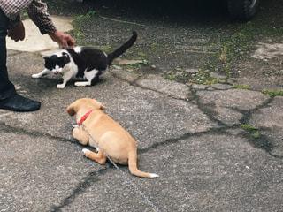 猫と仲良くなりたい犬と、犬が怖い猫の写真・画像素材[853131]