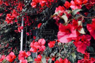 赤い花の写真・画像素材[1079450]