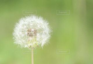 ふはふは 春の風に乗りたくての写真・画像素材[796398]