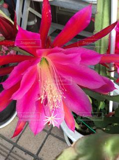サボテンの上のピンクの花の写真・画像素材[2871730]