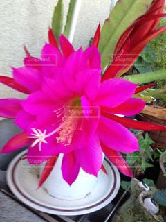 サボテンの上のピンクの花の写真・画像素材[2875437]