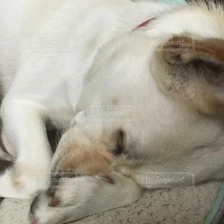 眠っている茶色と白の犬の写真・画像素材[2876042]