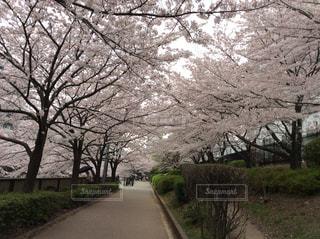 桜 - No.793652