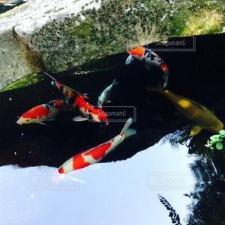 鯉の写真・画像素材[793869]
