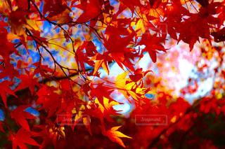紅い葉 - No.795127