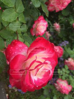 薔薇 - No.794490