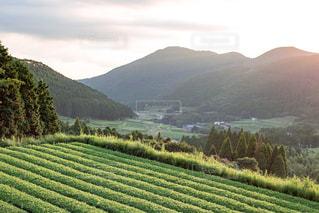 夕暮れ時の茶畑の写真・画像素材[802787]