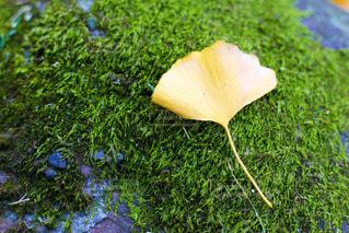 イチョウの葉の写真・画像素材[865764]