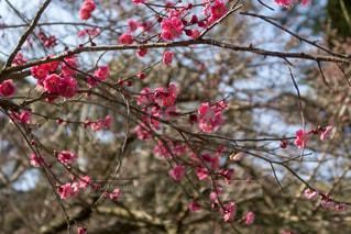 梅の花の写真・画像素材[1034012]