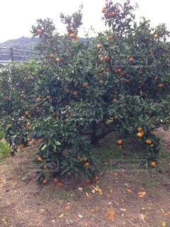 果物の木の上に座っているの束の写真・画像素材[794985]