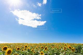青空とひまわりの写真・画像素材[1383408]