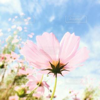 秋桜の写真・画像素材[798171]