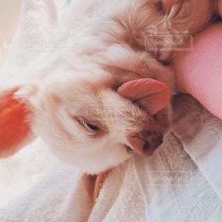 毛布の上に横になっているチワワの写真・画像素材[807292]
