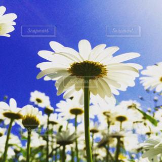 青空に映える白い花の写真・画像素材[808874]