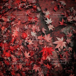 地面いっぱいの落ち葉の写真・画像素材[816664]