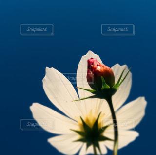 コスモスと青空の写真・画像素材[818638]