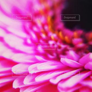 ガーベラピンクの写真・画像素材[818645]