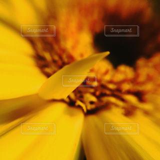 ガーベラ黄色の写真・画像素材[818646]