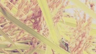 お米とカエルの写真・画像素材[820373]