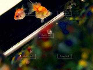 金魚の写真・画像素材[820374]
