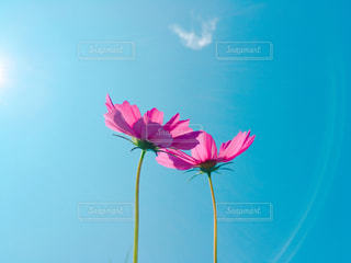 秋桜の写真・画像素材[820375]