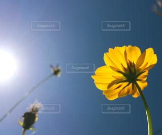 黄色の花の写真・画像素材[826270]