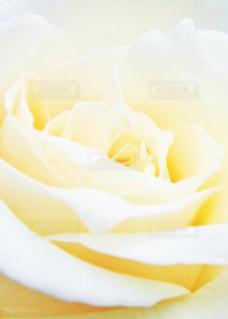 白いバラの写真・画像素材[826285]